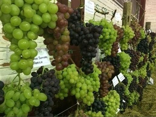 Foto Mais de 280 produtores se inscreveram para exposição e concurso de uvas da FenaVindima 2020