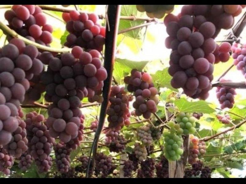 Foto Comercialização de uvas na Praça da Bandeira iniciou na quarta-feira, dia 3