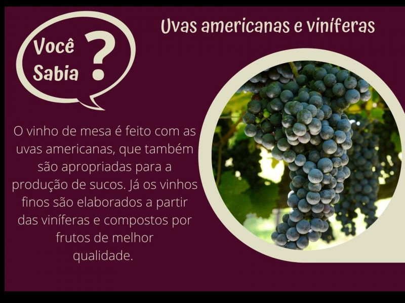 Foto Uvas americanas e viníferas
