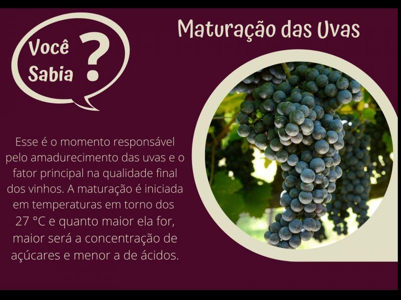 Foto Maturação das Uvas