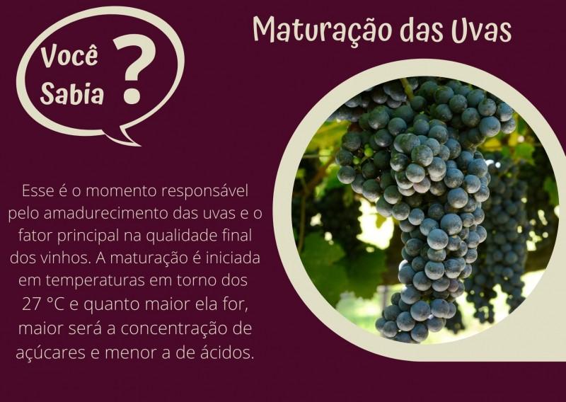Foto de capa Maturação das Uvas