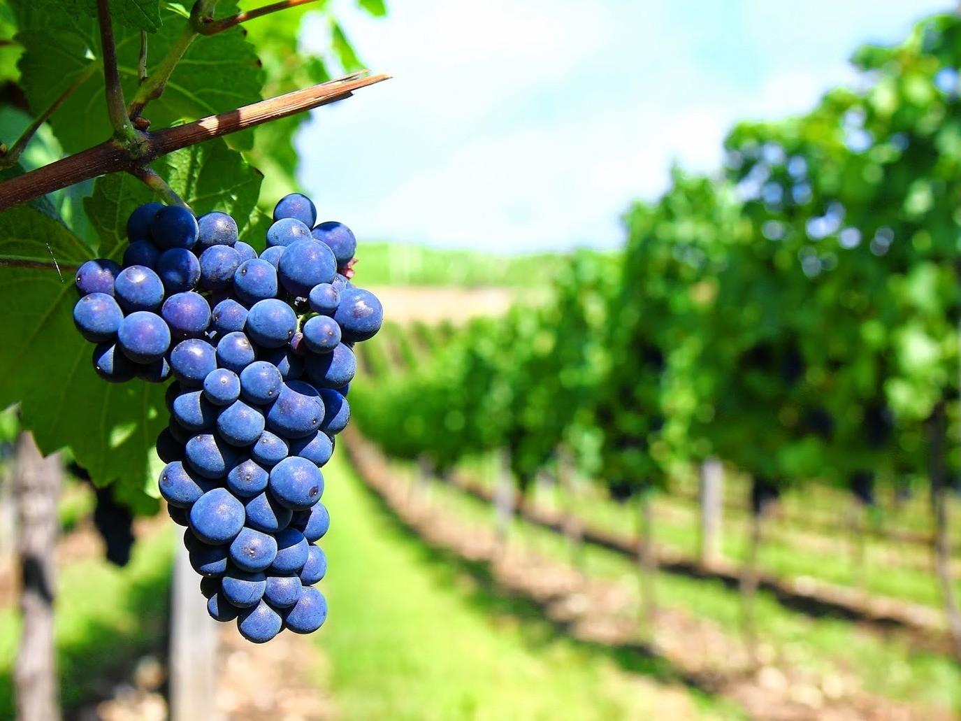 Foto Você sabia o momento certo de colher as uvas?