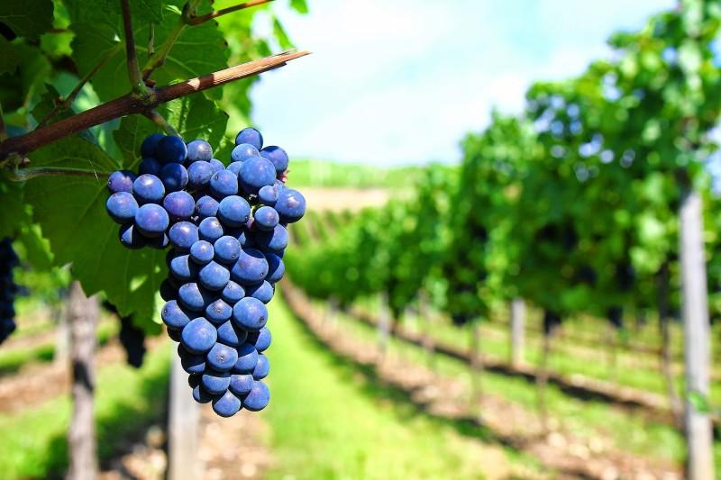 Foto de capa Você sabia o momento certo de colher as uvas?
