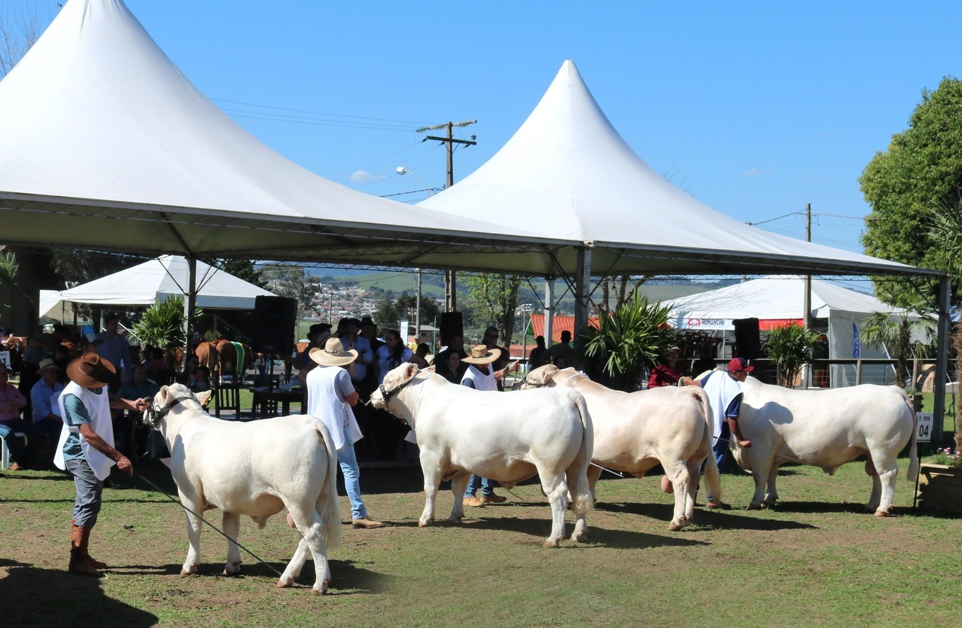 Foto Com a maior representação ente os bovinos de corte, Charolês brilhou na ExpoLages 2019