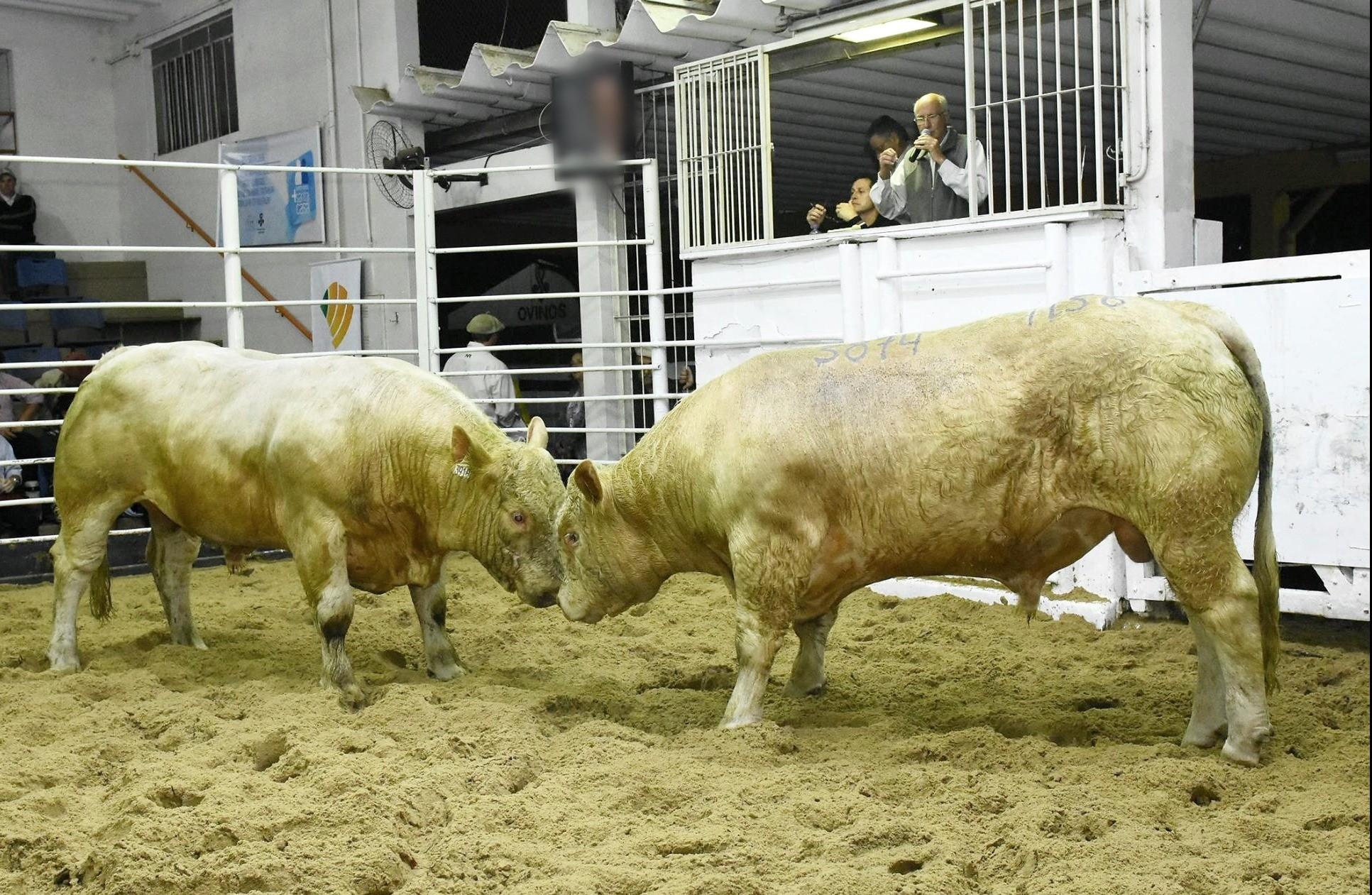 Foto Leilão Estância Sá Brito registra valorização para touros participantes da 2ª PAC/CAR da ABCC e Embrapa Pecuária Sul