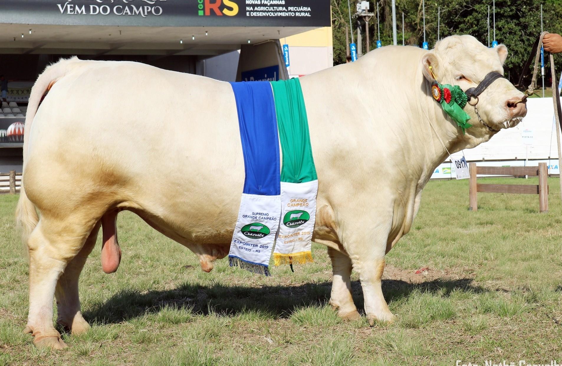 """Foto """"Tarumã JHBD 1460 BR #"""" é escolhido o campeão da América do Sul da raça Charolês em 2019"""