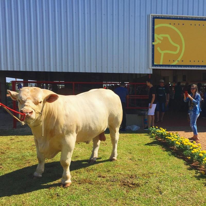 Foto de capa Charolês estará presente no Show Rural Coopavel em Cascavel (PR)