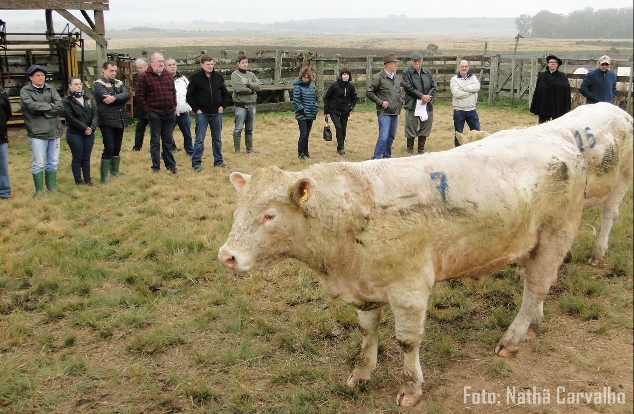Foto Com ganho médio diário de 0,982 kg, Charolês encerra participação na 1ª Prova de Avaliação a Campo (PAC) e de eficiência alimentar da Embrapa Pecuária Sul