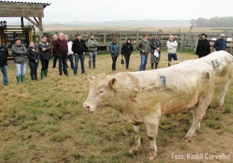 Foto de capa Com ganho médio diário de 0,982 kg, Charolês encerra participação na 1ª Prova de Avaliação a Campo (PAC) e de eficiência alimentar da Embrapa Pecuária Sul