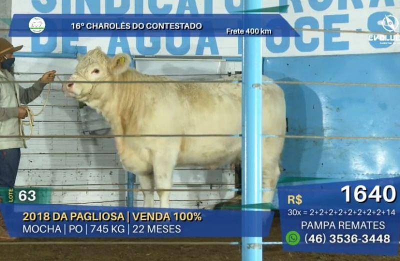 Foto 16º leilão Charolês do Contestado tem 100% de liquidez em grande oferta da raça
