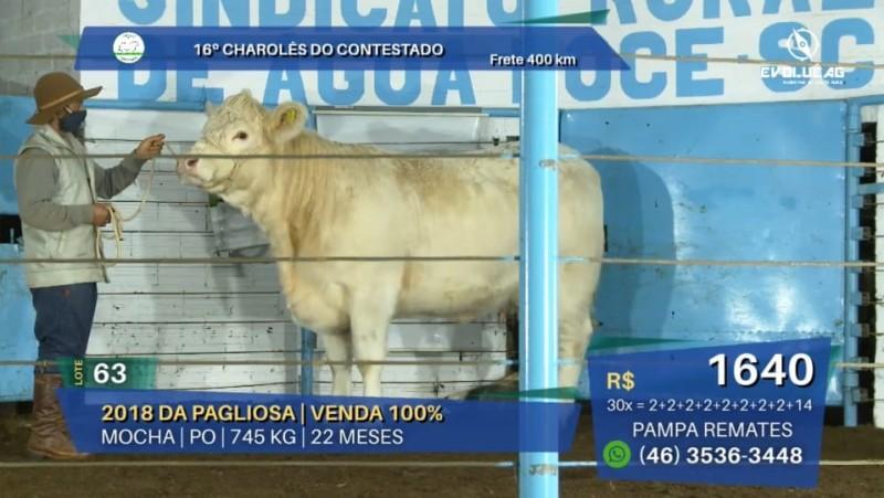 Foto de capa 16º leilão Charolês do Contestado tem 100% de liquidez em grande oferta da raça