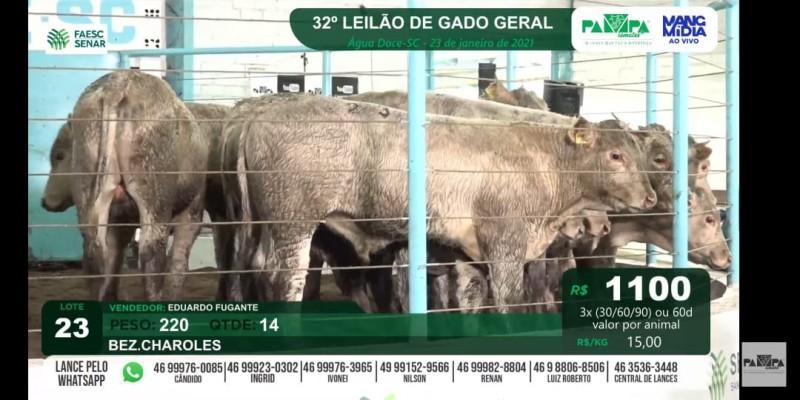 Foto de capa Terneiros Charolês são comercializados pela média de R$ 3.570 em Água Doce/SC