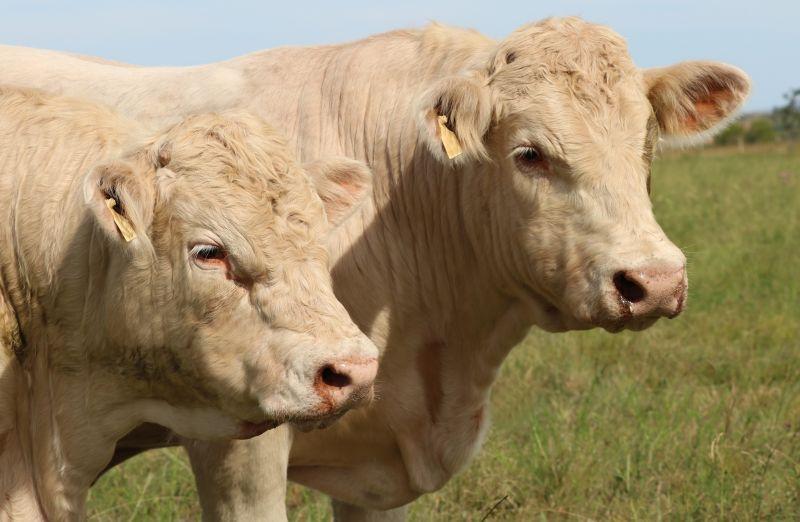 Foto da notícia Estância Sá Brito e Cabanha Santo Izidro cedem touros Charolês para a UFSM
