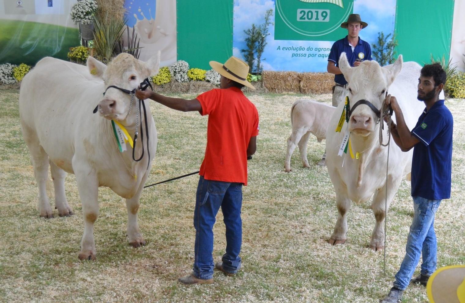 Foto Charolês brilhou em julgamento no Itaipú Show Rural em Pinhalzinho (SC)