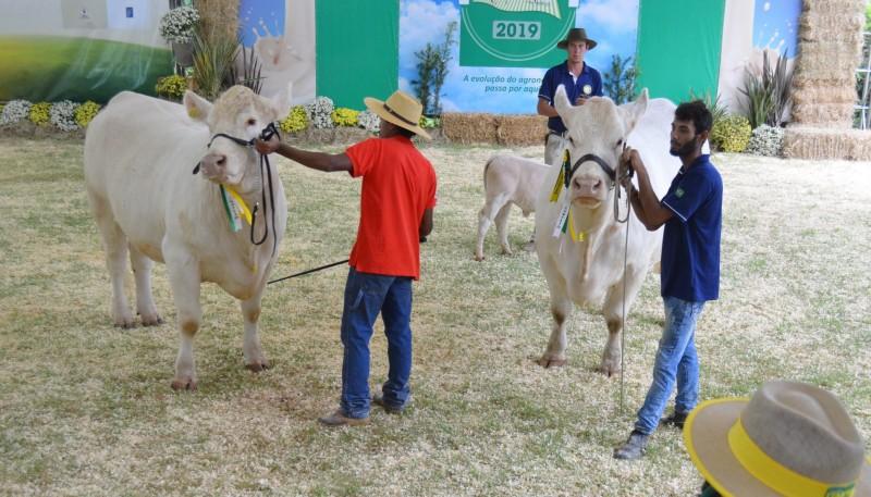 Foto de capa Charolês brilhou em julgamento no Itaipú Show Rural em Pinhalzinho (SC)