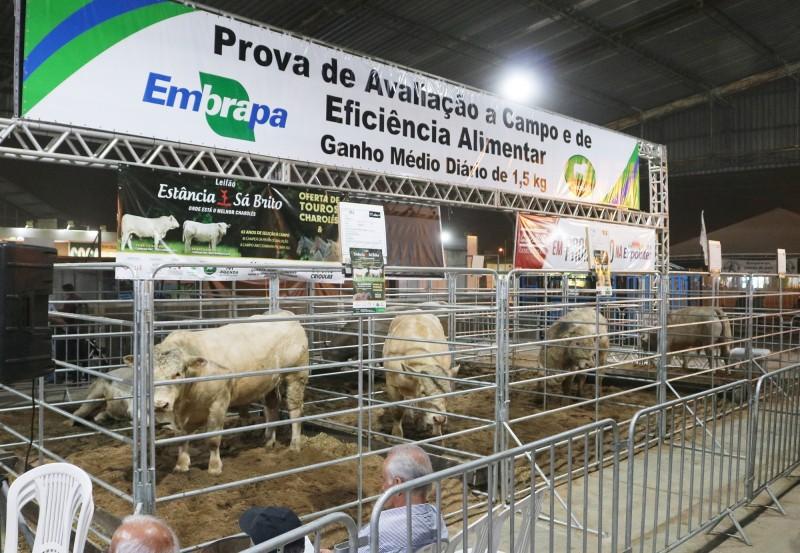 Foto de capa Charolês celebra boa fase e lança novo modelo de exposição de bovinos na Expointer 2019