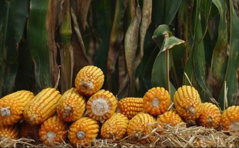 Foto de capa da notícia Aberto o cadastro de produtores ao programa Troca-Troca de sementes de milho