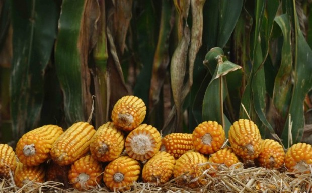 Foto de capa da notícia: Aberto o cadastro de produtores ao programa Troca-Troca de sementes de milho