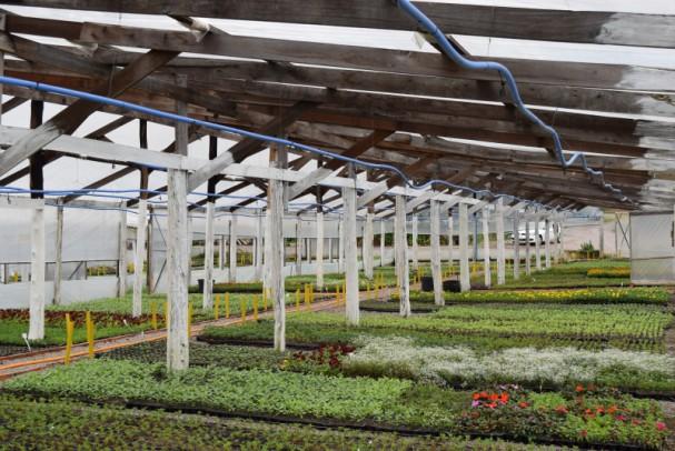 Foto de capa da notícia: Horto Municipal de Nova Petrópolis cultivou 800 mil mudas este ano