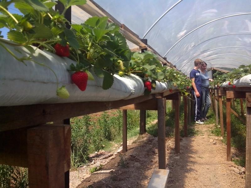 Foto de capa da notícia: Produção de morangos orgânicos é tema de qualificação técnica