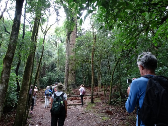 Foto de capa da notícia: Secretaria de Turismo orienta visitação ao Pinheiro Multissecular