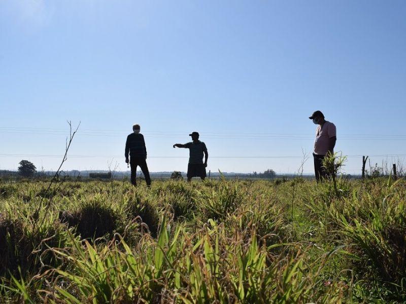 Foto de capa da notícia: Produtor investe no plantio de BRS Kurumi (capim elefante anão)