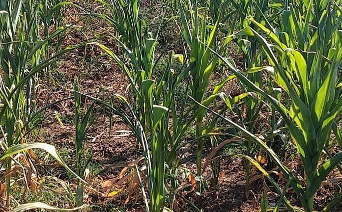 Foto de capa da notícia Prorrogado o pagamento do Programa Troca-Troca de Sementes de milho e sorgo para 31 de maio